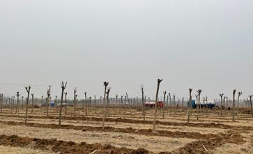 河北唐山一村庄强制要求村民把耕地流转给一家公司种树,麦子直接被毁了